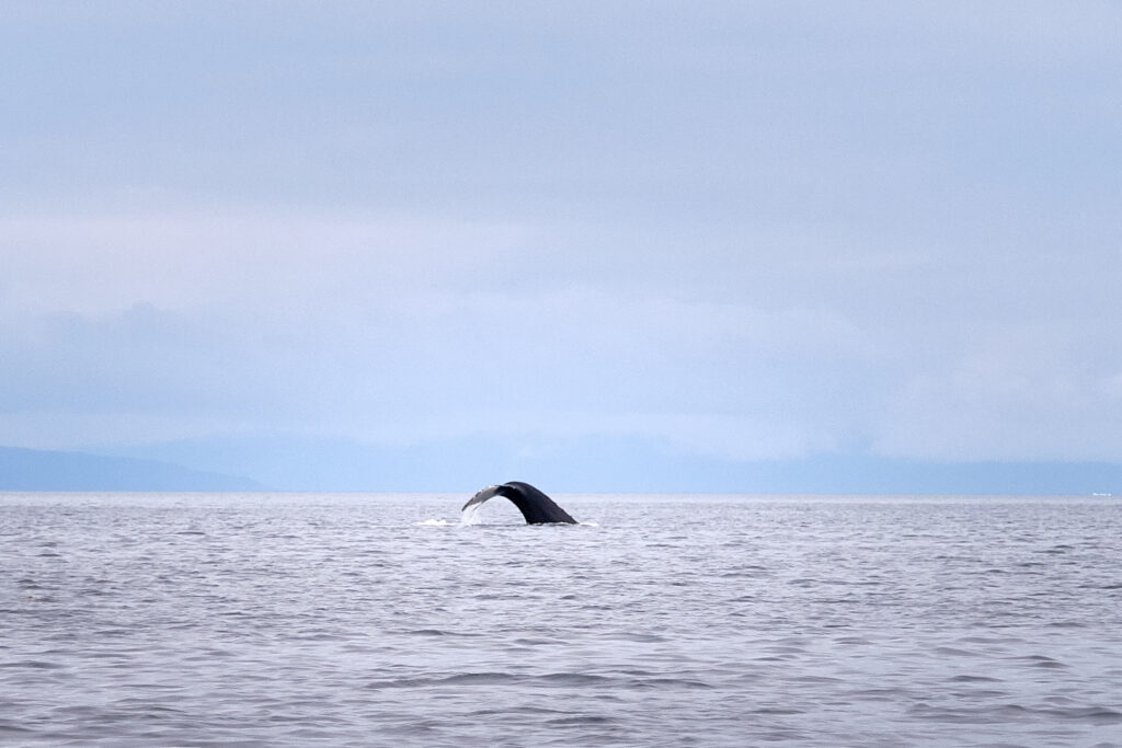 Whale-tail-on-a-whale-watching-trip-near-Aasiaat-1024x683.jpg