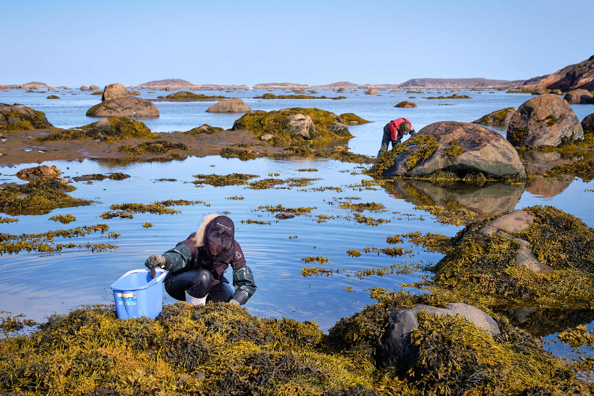 collecting mussels at low tide at Sassannguit - Sisimiut - Greenland